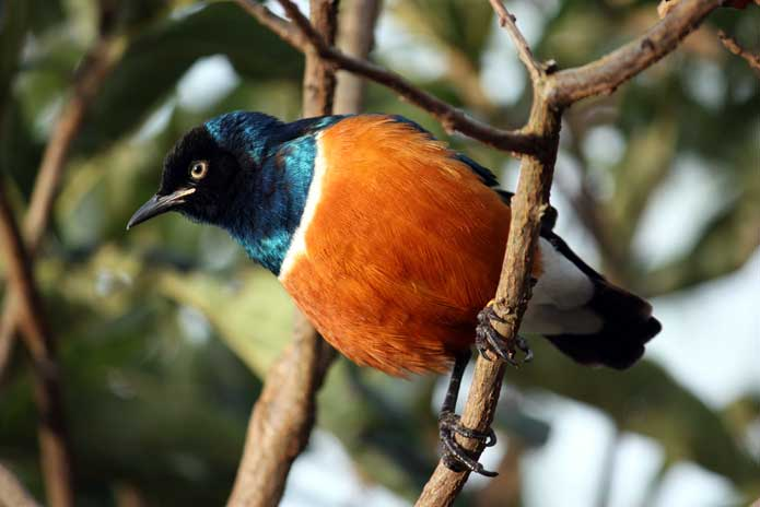 African Superb Starling, found throughout East Africa