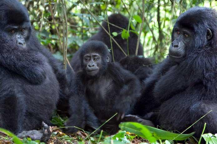 Nkuringo Family - Uganda Gorillas