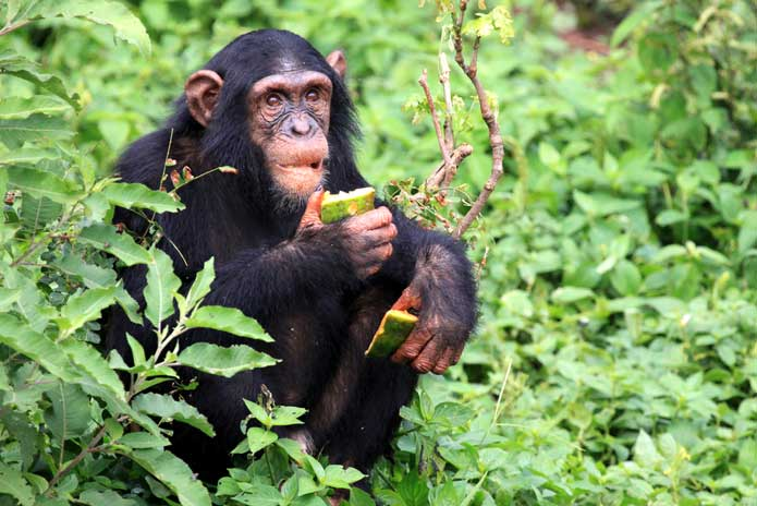Uganda Chimpanzee in the Wild