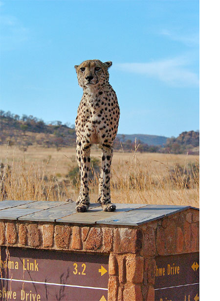 Chhetah standing on a sign post at Pilanesberg Game Resrve