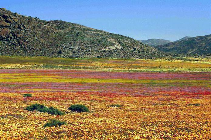 Namaqualand Flowers (Floral Hotspot)
