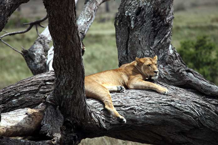 Lake Manyara is renowned for its tree climbing lions