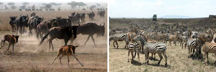 Migrating herds in the Serengeti
