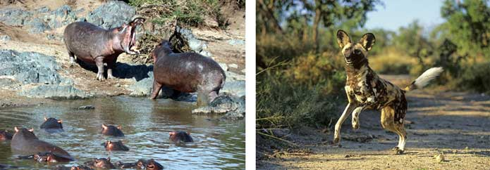 Selous - hippo and African Wild Dog