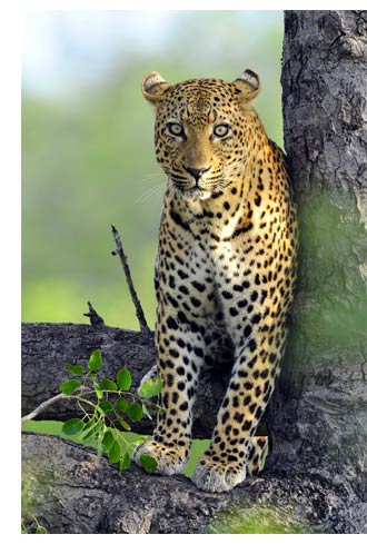 Leopard photographed within the Game Reserve